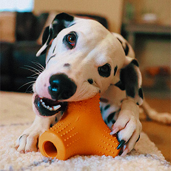 Dalmation clawing a Super Chewer toy