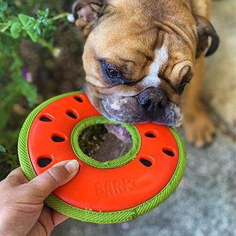 French Bulldog pulling on a watermelon toy